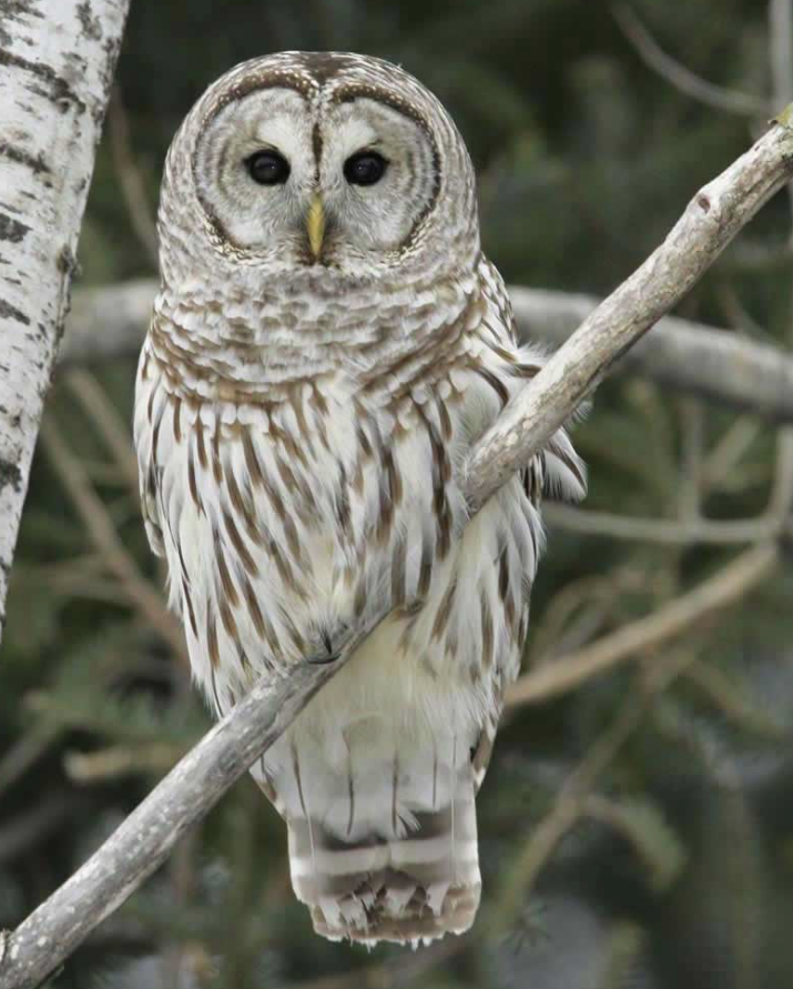 Internet photo, not mine. Example picture of a Barred Owl.